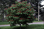 Aesculus pavia - Red Buckeye