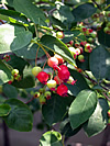 Amelanchier Canadensis -  Serviceberry