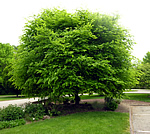 Cladrastis kentuckea - American Yellowwood