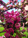 Malus sp. - Flowering Crabapple