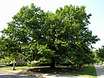 Quercus imbricaria - Shingle Oak