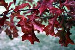 Quercus rubra - Red Oak