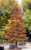 Taxodium distichum - Common Baldcypress